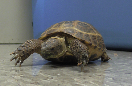 Tortoise adopted by science teacher